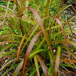 MISCANTHUS SINENSIS NAVAJO GRASS HARDY GARDEN CONTAINER PLANT AUTUMN FOLIAGE