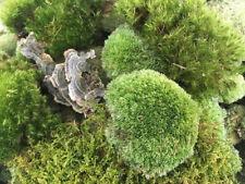 Live Super Fresh Moss Mix for Terrariums, Fairy Gardens, Gardens, Moss Bath Mat