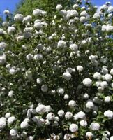 Großblumiger Duft-Schneeball - Viburnum x carlcephalum - stark duftend (40-60)