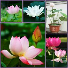 Bonsai Lotus Seeds Combo Pack: white, red & pink lotus seeds combo pack