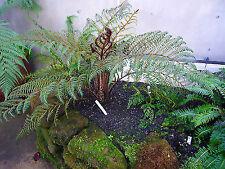 "Cyathea tomentosissima-Dwarf Wooly Tree Fern Plant in 3.5"" pot"