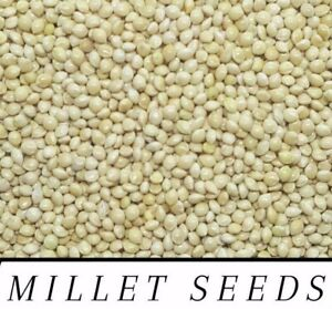 White Proso Millet Seed Wild Bird Food Raw & Recleaned! ***Choose Size***