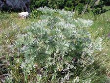 Artemisia Kräutersamen