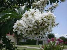 35+ WHITE CRAPE MYRTLE TREE / SHRUB / FLOWER SEEDS / DROUGHT TOLERANT PERENNIAL