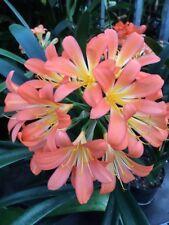 3 x Clivia Mrs P LOFTUS seeds. UK National Collection holders