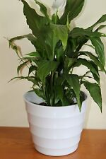 Quality White Rigid Plastic Plant Pot Cover - Diameter 18.5cms