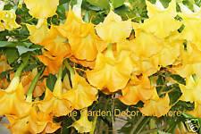 50 GIANT HUGE Bloom Flower Yellow Orange Brugmansia Seeds Angel's Trumpet