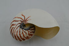 POLISHED NATURAL AND WHITE PEARLIZED CHAMBERED NAUTILUS SEASHELL HOME DECOR
