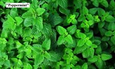 "Seeds ""Peppermint"" (Mentha piperita) or Melissa ""Lemon"" (Melissa officinalis)"