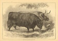London England, Prize Oxen At The Smithfield Club Cattle Show 1872 Antique Print