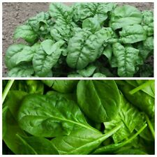 Seeds Spinach Winter Summer Matador Giant Water Vegetable Organic Heirloom