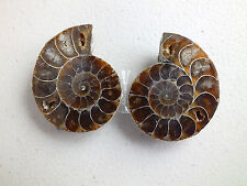 PAIR OF SEA SHELL FOSSIL MADAGASCAN W GIFT BOX WEDDING BIRTHDAY PARTY ZZ