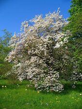 RARE-North Carolina State FIORE. Cornus Florida-Flowering Dogwood. 5 semi
