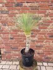 Yucca Linearifolia Nr. 8 ( No Rostrata )