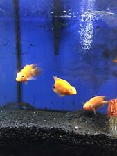 "3"" Blood Parrot Cichlid Live Freshwater Aquarium Fish"