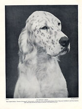 ENGLISH SETTER HEAD STUDY OLD ORIGINAL NAMED DOG PRINT PAGE FROM 1934