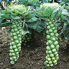 "Brussel Sprouts ""Long Island"" Compact Great For Small Gardens Heirloom Seeds"