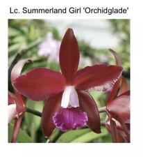 Pot Al Tanhauser 'Best' X Lc Summerland Girl 'Orchidglade' 4� Repotted (15) 6844
