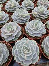 Echeveria lola 8,5cm pot / lithops OBREGONIA ariocarpus