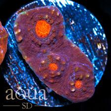 New listing Asd - 060 Volcanic Activity Chalice - Wysiwyg - Aqua Sd Live Coral Frag