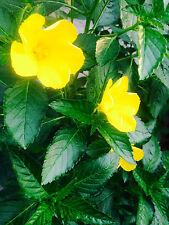 Damiana Seeds. ( 30 seeds )