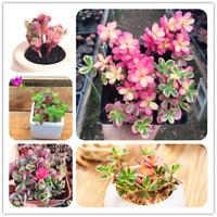 100 PCS Seeds Portulaca Grandiflora Bonsai Succulents Flowers Fleshier Garden U