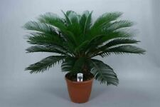20Pcs Cycas Pot Plants Seeds 3 Kinds Clean Air In Your Home