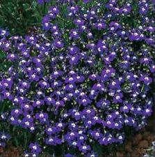 Lobelia Mrs Cilbran 200 Seeds Beautiful Ground Cover Rock Garden Edging