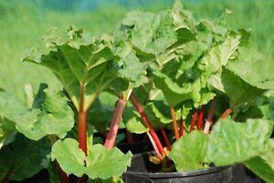 Rhabarber Elmsblitz, oxalsäurearm, Obst, Gemüse, mehrjährig, winterhart, Pflanze