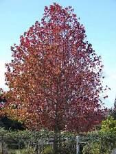 Liquidambar Styraciflua - 30 Semillas-American sweetgum Tree-liquidamber