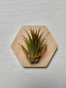 Air Plant Wall Tilandsia Plant Holder Airplant Holder Air Plant Hanger Airplan