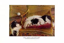 Hunde Japan Chin Kunstdruck 1926 v. Richard Müller * Tschirnitz Pekinese Spaniel