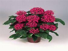 25 Pelleted Seeds Pentas Graffiti Bright Red Pentas Seeds (Star Flower)