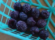 RARE 4 graines de FRAMBOISE BLEUE (Rubus Leucodermis)H401 BLUE RASPBERRY SEEDS