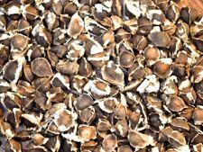 100 Seeds ! SUPER SPECIAL!! MORINGA Oleifera STX-2 Extremely Productive Organic