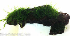 Flame Mousse sur Bogwood Taxiphyllum Sp Tropical Aquatique Vivante Plante