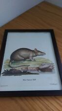 Mus Caraco Pall Rat Natural Schreber Copper Engraving Antique Rare Germany