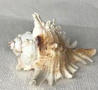 "Spiky Conch Shell Murex Seashell Pink Edging Brown Striped Natural Beach 5"" Long"