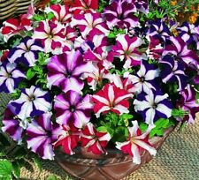 Petunia Seeds, Star Mix, Multiflora Petunia Seeds, Hanging Baskets Non-Gmo, 75ct