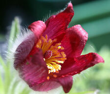 PASQUE FLOWER RED Pulsatilla Vulgaris Rubra - 100 Bulk Seeds