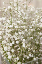 BABYS BREATH 'Covent Garden' 150+ seeds white gypsophila elegans flower garden