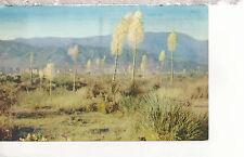 Desert Yucca or Spanish Bayonet  (panicle of waxen bells)  Chrome Postcard 317