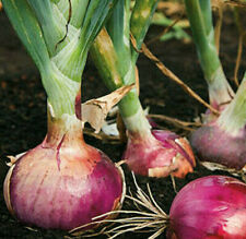 Red Burgundy Onion Seeds | Organic Plant Vegetable Garden Scallion Seed for 2021
