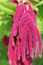 50+ Coral Fountain Amaranthus / Annual Flower Seeds