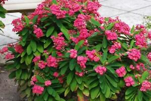 Hardy Pink Crown of Thorns Plant Euphorbia Garden Patio Yard Flower Cacti in Pot