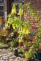 Die wunderschöne gelbe Engelstrompete ist eine eindrucksvolle Kübelpflanze !