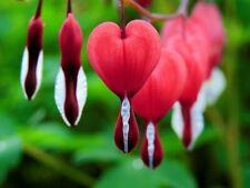 Dutchmans breeches bleeding heart seeds 10 per pack USA grown /& Shipped