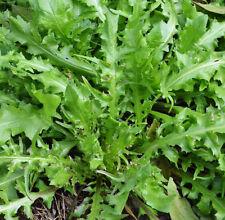 100 Shepherd's Purse Seeds Capsella Bursa-Pastoris Organic Vegetables