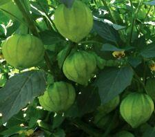 TOMATILLO SEEDS 100+ TOMATILLO VERDE GARDEN vegetables SALSA spice FREE SHIPPING