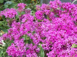catchfly, BLOOMS IN 6 WEEKS, pink flowers, 750 seeds! GroCo US USA*